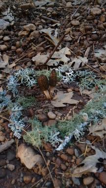 Morels circled in moss